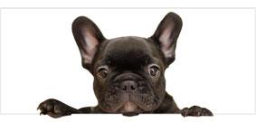 Mi Bulldog Francés